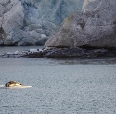 A banded seal at Svalbard's Nordenskiold glacier. Photo: AUVSI